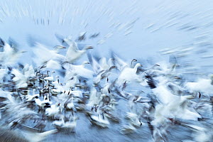 Snow Goose (Anser caerulescens) long exposure of group taking off during migration, Quebec, Canada, October. - David Allemand