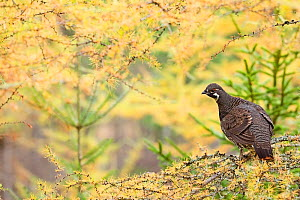 Canada grouse (Falcipennis canadensis) in autumn tree, Quebec, Canada, October. - David Allemand