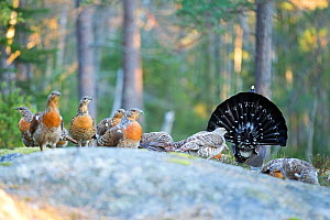 Western capercaillie (Tetrao urogallus) male in courtship display to females, Norway, April. - David Allemand
