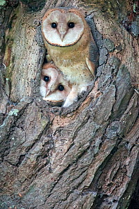 Barn owls (Tyto alba) young barn owls in their nest waiting for feeding, Picardie, France, July. - David Allemand