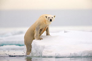 Polar Bear (Ursus maritimus) on iceberg, Svalbard,  Norway. Arctic. - David Allemand