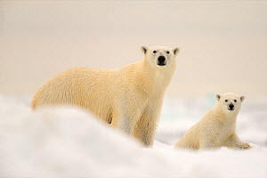 Polar bears (Ursus maritimus) female bear and her young, Svalbard, Norway, August. - David Allemand