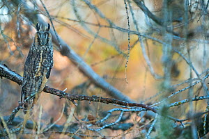 Long-eared owl (Asio otus) on tree, Ecrins National Park, Alps,  France, November. - David Allemand