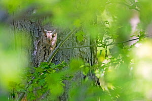 Eurasian scops owl (Otus scops) migrant owl, Alps, South of France, May. - David Allemand