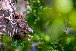 Eurasian scops owls (Otus scops) migrant owl, Alps, South of France, May. - David Allemand