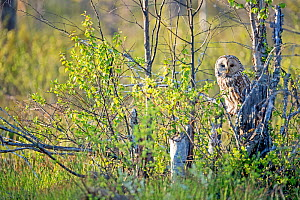 Ural owl  (Strix uralensis) in spring, Sweden, May. - David Allemand