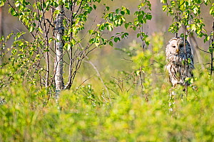 Ural owl (Strix uralensis) in spring, Sweden, May, - David Allemand