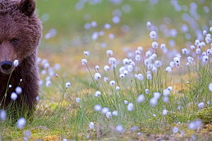 Brown bear  (Ursus arctos) in spring flowers, Finland, June. - David Allemand