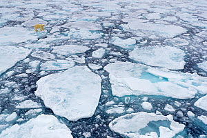 Polar bear (Ursus maritimus) moving around on ice floe, looking for food, Svalbard, Norway, July. - David Allemand