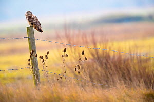 Short-eared-owl (Asio flammeus) looking for prey from fence post, Vendee, France, January. - David Allemand
