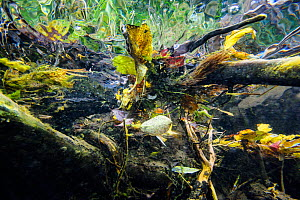 Underwater view of vegetation and leaves in the upper reaches of the Lena River, Baikalo-Lensky Reserve, Siberia, Russia, September  -  Olga Kamenskaya