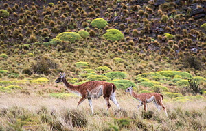 Guanacos (Lama guanicoe), female and calf,  Parque Patagonia, Valle Chacabuco, Chile. January. Cropped. - Rhonda Klevansky