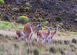 Guanaco (Lama guanicoe) with three calves or chulengos. Parque Patagonia, Valle Chacabuco, Chile. January. Cropped. - Rhonda Klevansky