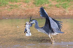 Blackheaded heron (Ardea melanocephala) catching Cape turtle dove (Streptopelia capicola), Kgalagadi Transfrontier Park, South Africa, February. - Ann  & Steve Toon