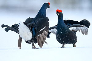 Black Grouse (Tetrao tetrix) males fighting at lek in the snow, Tver, Russia. April  -  Sergey  Gorshkov