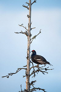 Western capercaillie (Tetrao urogallus) male in tree,  Tver, Russia. April  -  Sergey  Gorshkov