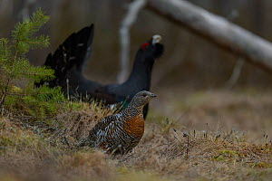 Western capercaillie (Tetrao urogallus) male displaying with female in the foreground, Tver, Russia. May  -  Sergey  Gorshkov