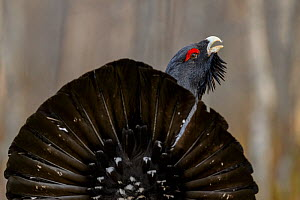 Western capercaillie (Tetrao urogallus) Tver, Russia. May - Sergey  Gorshkov