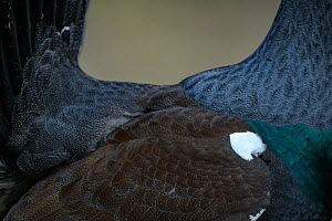 Western capercaillie (Tetrao urogallus) close up of back, Tver, Russia. May  -  Sergey  Gorshkov
