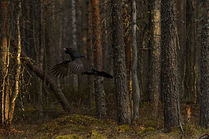 Western capercaillie (Tetrao urogallus) flying in forest, Tver, Russia. May  -  Sergey  Gorshkov