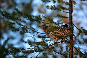 Western capercaillie (Tetrao urogallus) female in tree,  Tver, Russia. May  -  Sergey  Gorshkov