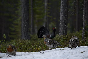 Western capercaillie (Tetrao urogallus) female with male displaying at lek, Tver, Russia. May  -  Sergey  Gorshkov
