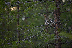 Western capercaillie (Tetrao urogallus) female perched in tree, Tver, Russia. May  -  Sergey  Gorshkov
