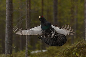 Western capercaillie (Tetrao urogallus) taking off, Tver, Russia. May - Sergey  Gorshkov