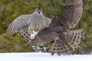 Northern goshawks (Accipiter gentilis) fighting over squirrel carcass, Finland, March.  -  Sergey  Gorshkov