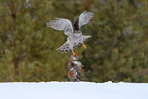 Northern goshawk (Accipiter gentilis) flying with squirrel prey, Finland . March - Sergey  Gorshkov