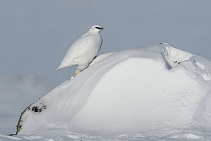 Rock ptarmigan (Lagopus muta) male on snow drift, Taymyr Peninsula, Siberia, Russia . March - Sergey  Gorshkov