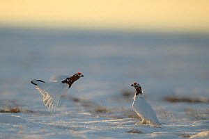 Willow ptarmigan (Lagopus lagopus) males fighting, with spring plumage, Taymyr Peninsula, Siberia, Russia. Sequence 1 of 9. May - Sergey  Gorshkov