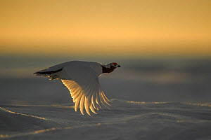 Willow ptarmigan (Lagopus lagopus) male in spring plumage, in flight at sunset, Taymyr Peninsula, Siberia, Russia. May - Sergey  Gorshkov