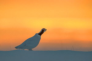 Willow ptarmigan (Lagopus lagopus) male in spring plumage, calling at sunrise, Taymyr Peninsula, Siberia, Russia. May - Sergey  Gorshkov