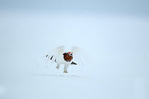 Willow ptarmigan (Lagopus lagopus) male in spring plumage, in snow, Taymyr Peninsula, Siberia, Russia. June - Sergey  Gorshkov