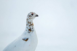 Willow ptarmigan (Lagopus lagopus) female in spring plumage, Taymyr Peninsula, Siberia, Russia. June - Sergey  Gorshkov