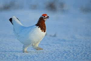 Willow ptarmigan (Lagopus lagopus) male in spring plumage, Taymyr Peninsula, Siberia, Russia. June  -  Sergey  Gorshkov