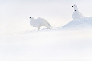 Willow ptarmigans (Lagopus lagopus) resting in snow, Russia. March - Sergey  Gorshkov