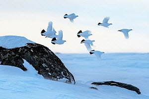 Willow grouse (Lagopus lagopus) flock in flight, Taymyr Peninsula, Siberia, Russia . March - Sergey  Gorshkov