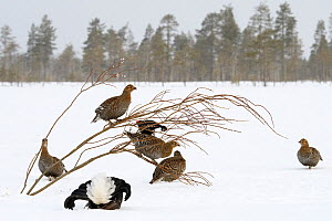 Black Grouse (Tetrao tetrix) lek with male displaying and females around in winter, Tver, Russia. April - Sergey  Gorshkov