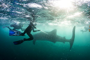 Scuba divers tagging Whale shark (Rhincodon typus) whilst others film on underwater cameras. Tadjourah Gulf, Djibouti.  December 2017. - Stephane Granzotto