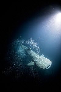 Whale shark (Rhincodon typus) at night, with artifical light, Tadjourah Gulf, Djibouti. - Stephane Granzotto