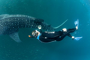 Scuba diver checking Whale shark (Rhincodon typus) tracking device, Tadjourah Gulf, Djibouti.  December 2017. - Stephane Granzotto