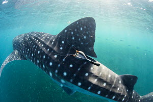 Whale shark (Rhincodon typus) with satellite tracking tag, Tadjourah Gulf, Djibouti.  December 2017. - Stephane Granzotto