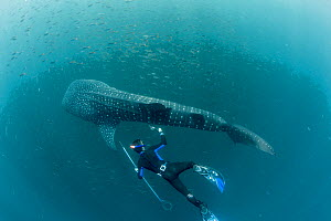 Scuba diver checking on  Whale shark (Rhincodon typus) tracking tag, Tadjourah Gulf, Djibouti. - Stephane Granzotto