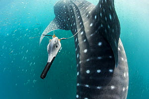 Whale shark (Rhincodon typus) with tracking tag, Tadjourah Gulf, Djibouti. - Stephane Granzotto