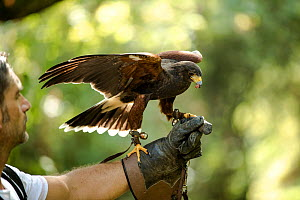 Harris hawk (Parabuteo unicinctus) falconry bird feeding on falconers hand.  -  Stephane Granzotto