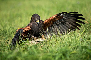 Harris hawk (Parabuteo unicinctus) landing on prey, controlled conditions with falconry bird.  -  Stephane Granzotto