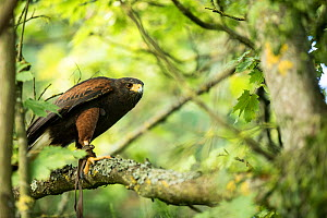 Harris hawk (Parabuteo unicinctus) perched in tree, controlled conditions with falconry bird.  -  Stephane Granzotto