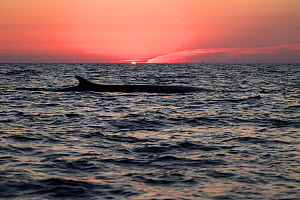 Fin whale (Balaenoptera physalus) at sunset, Mediterranean Sea, Corsica  -  Stephane Granzotto